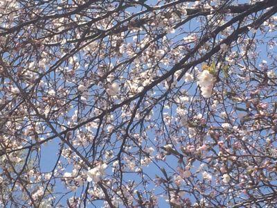 桜の花_b0244227_22343444.jpg