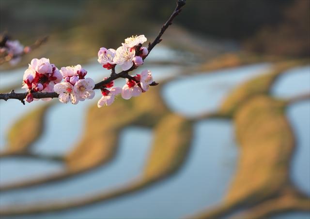 梅の花の咲く頃 ~仲春の大山千枚田~ 1_f0018464_20405350.jpg