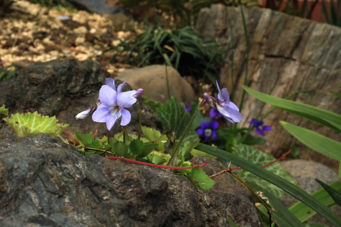 庭のスミレたちと。。。_a0107574_19523412.jpg