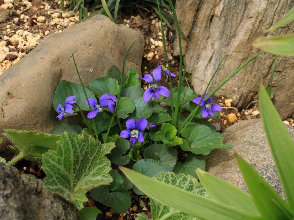 庭のスミレたちと。。。_a0107574_19524125.jpg