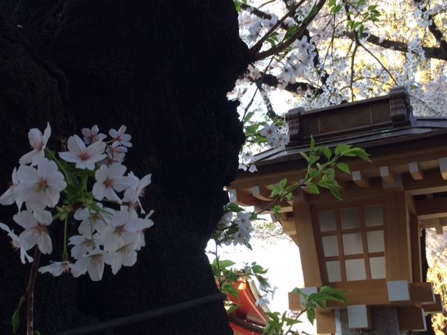 2015年の桜(10)_b0129897_3221955.jpg