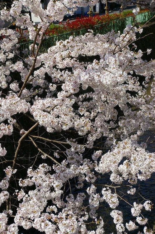 北白川の桜_f0227828_192652100.jpg