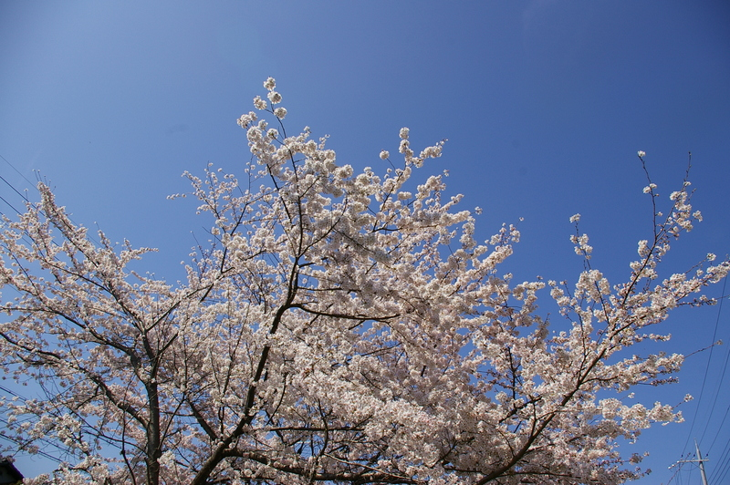 北白川の桜_f0227828_1928416.jpg