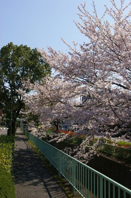 北白川の桜_f0227828_1928528.jpg