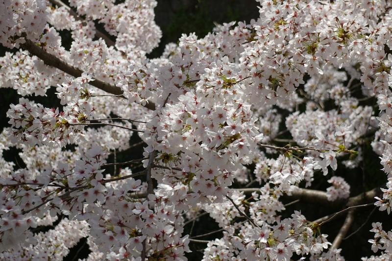 北白川の桜_f0227828_19291090.jpg