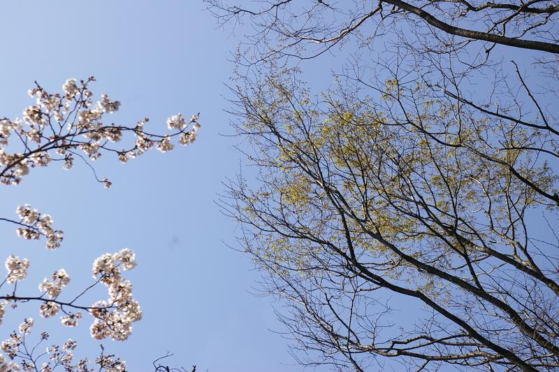 北白川の桜_f0227828_1934091.jpg