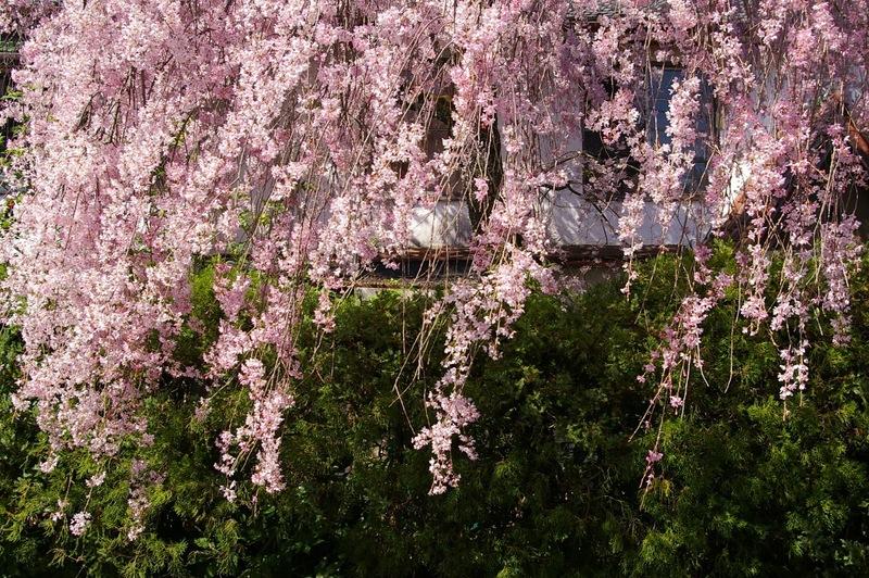 北白川の桜_f0227828_19351087.jpg