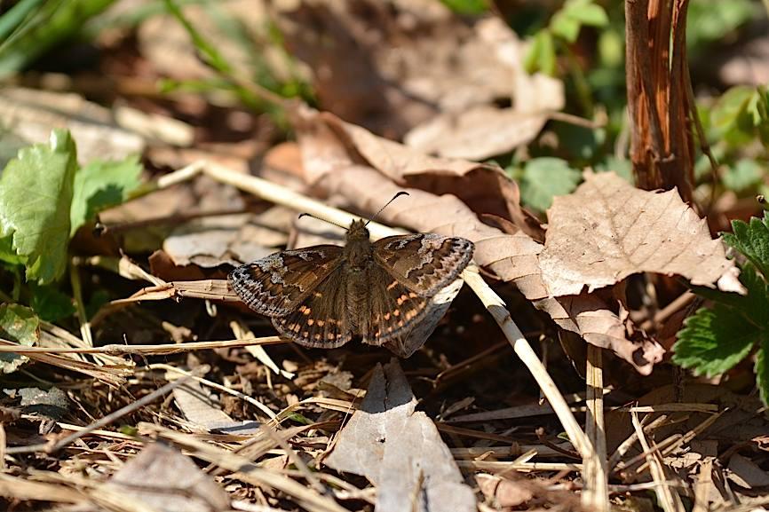 早春の蝶たち(2015年4月4日) _d0303129_441040.jpg