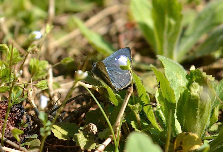 早春の蝶たち(2015年4月4日) _d0303129_441940.jpg