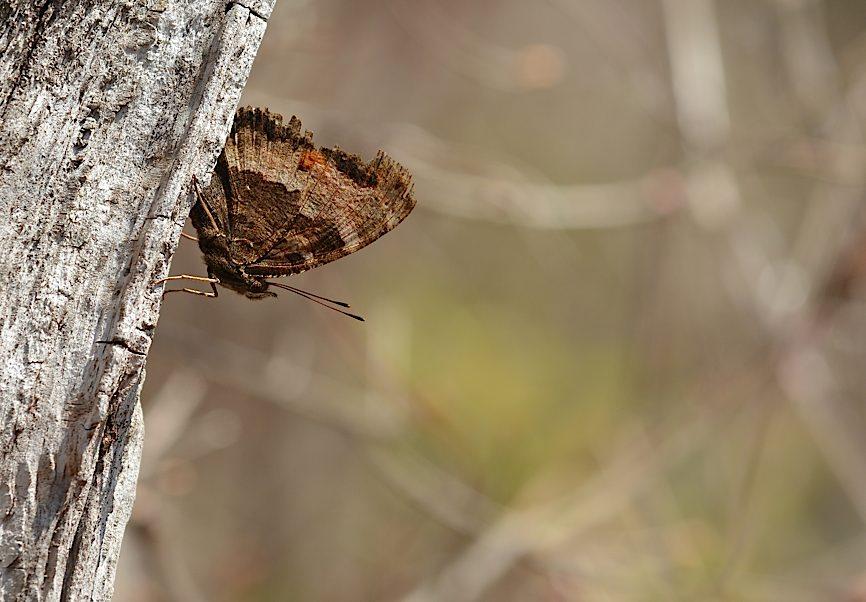 早春の蝶たち(2015年4月4日) _d0303129_453343.jpg