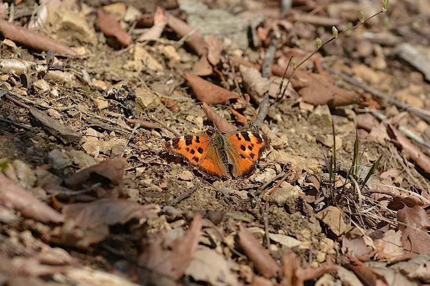 早春の蝶たち(2015年4月4日) _d0303129_45950.jpg