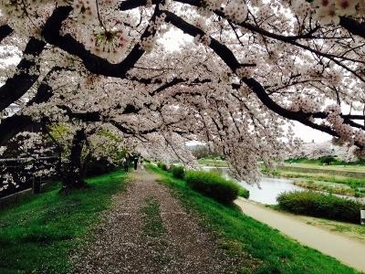 桜だより 桜のアーチ_a0279848_10095126.jpg