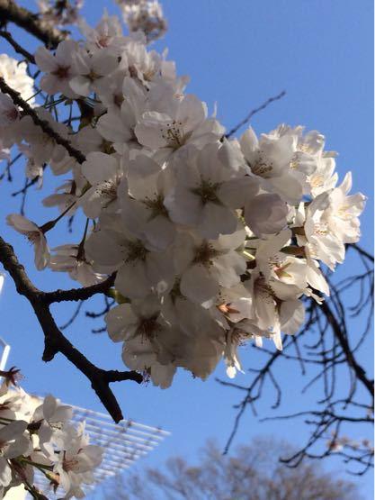 桜満開🌸_a0323249_1174764.jpg