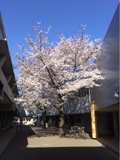 桜満開🌸_a0323249_142414.jpg