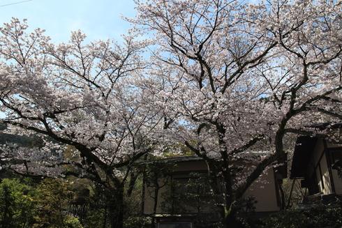 桜実況中継_c0078659_1103534.jpg