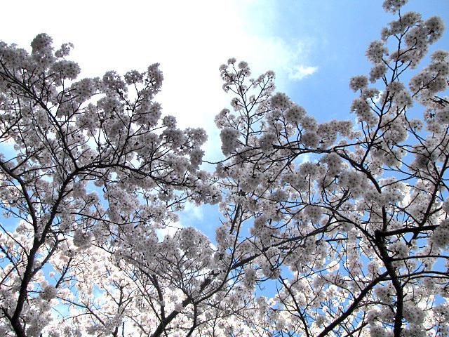 桜満開です_f0096067_14234513.jpg