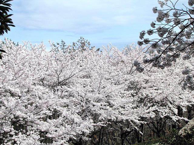 桜満開です_f0096067_14234619.jpg