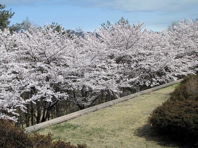 桜満開です_f0096067_14234806.jpg