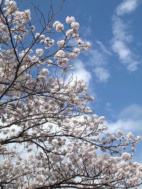 桜満開です_f0096067_14235048.jpg