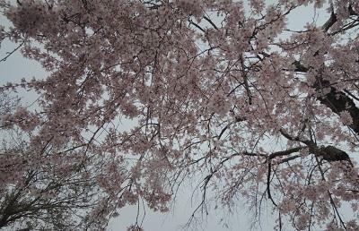 四日 その一  桜の下で想ったこと。_c0243877_11184043.jpg