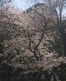 桜の季節_a0264589_11113795.jpg