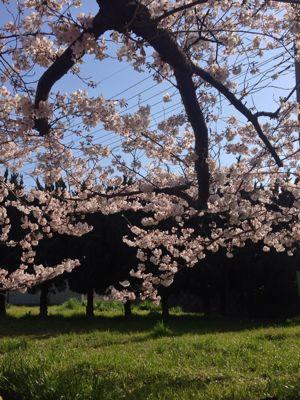 桜_f0087202_15162818.jpg