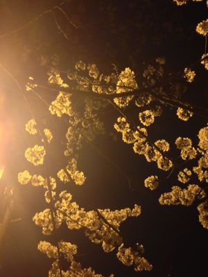 桜_f0087202_15163025.jpg