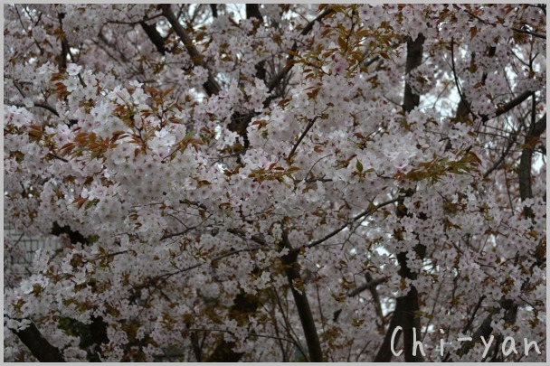 桜、散る_e0219011_9271446.jpg