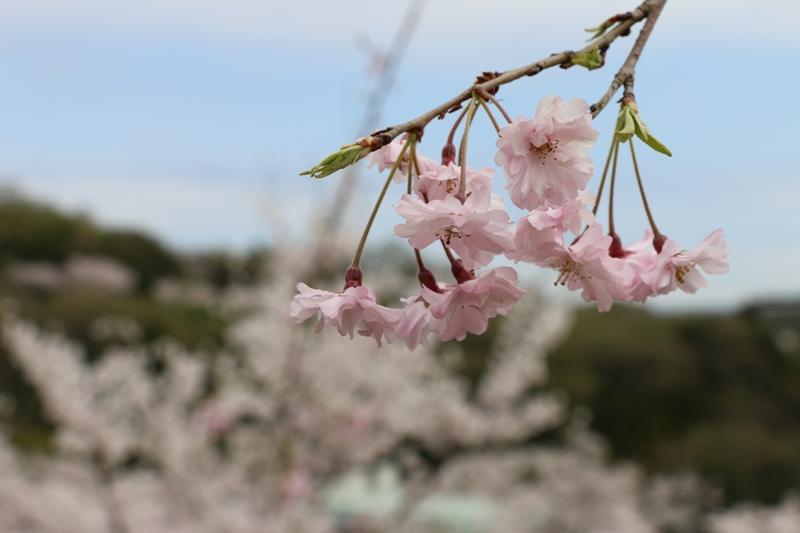 お花見_a0066027_9163098.jpg