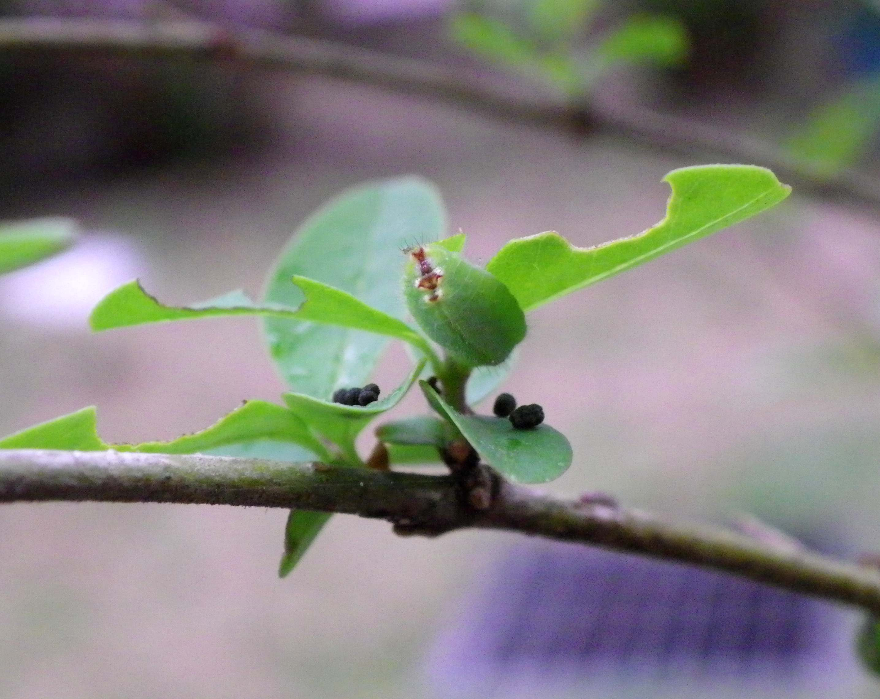 ウラゴマダラシジミ他 庭の幼虫達_d0254540_15535788.jpg