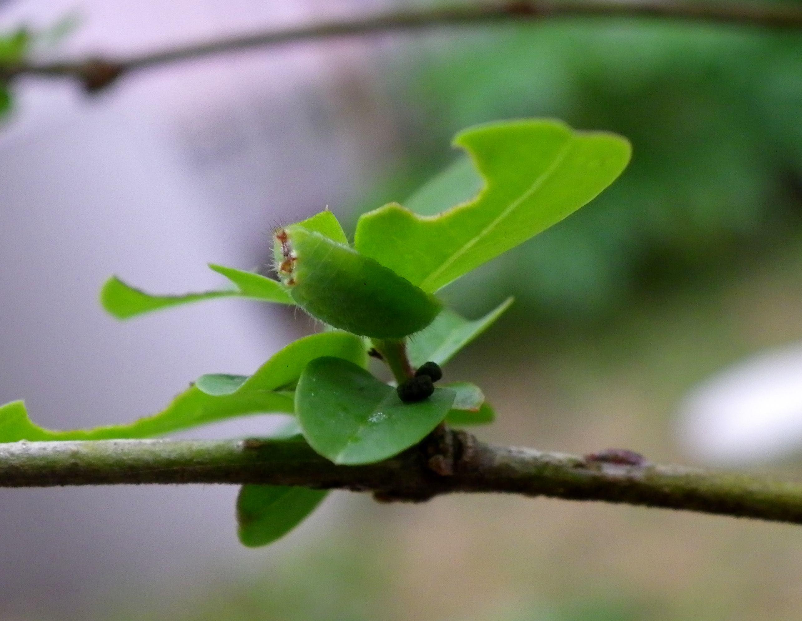 ウラゴマダラシジミ他 庭の幼虫達_d0254540_15542430.jpg