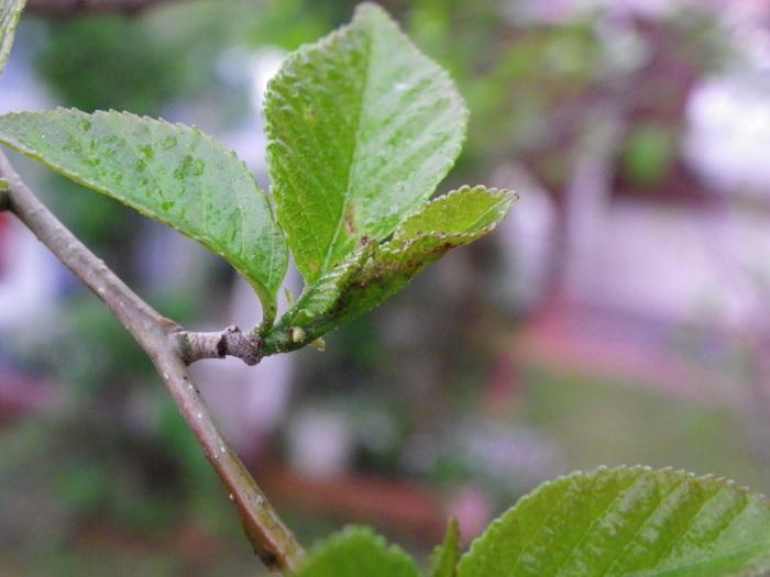 ウラゴマダラシジミ他 庭の幼虫達_d0254540_15582141.jpg