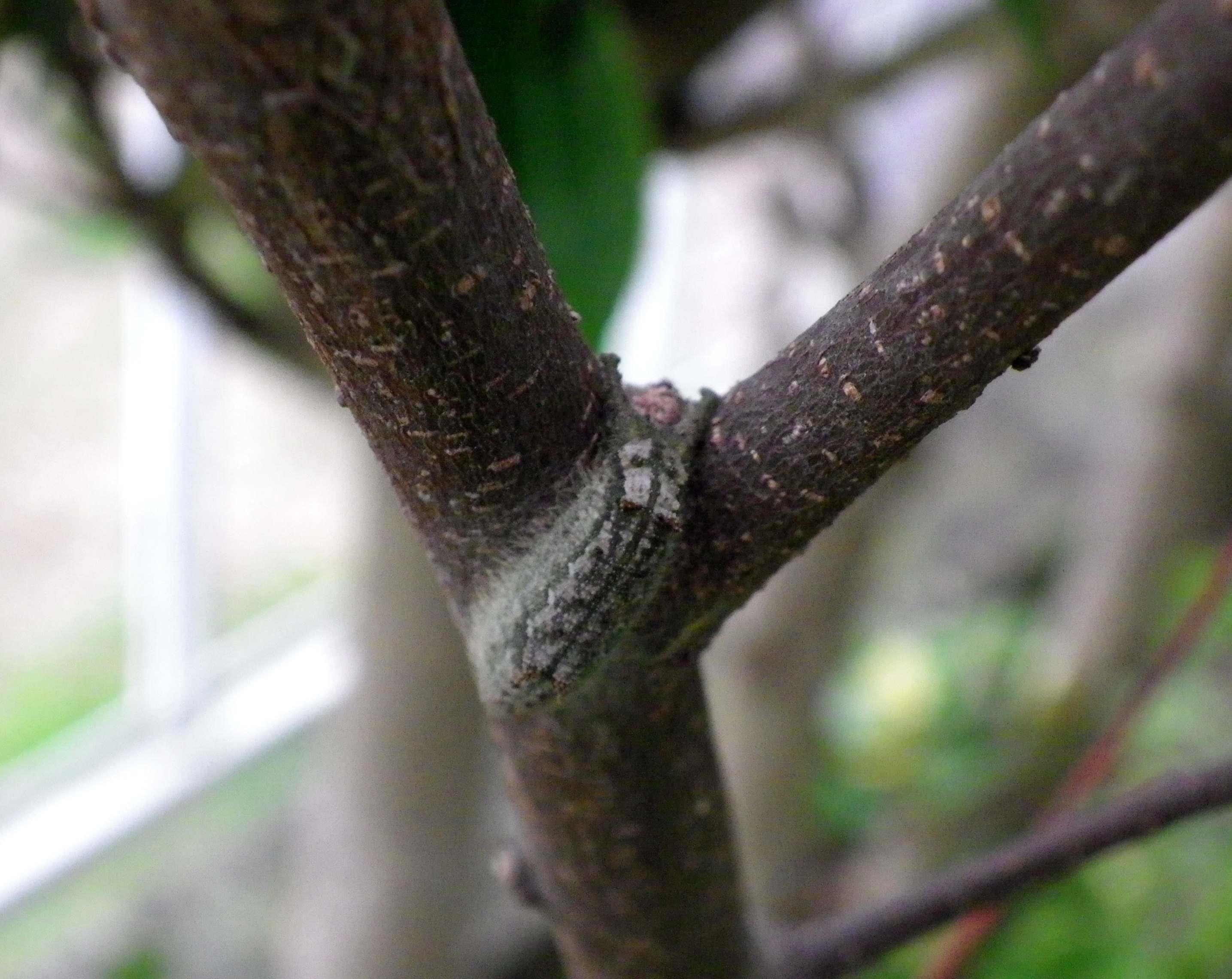 ウラゴマダラシジミ他 庭の幼虫達_d0254540_1612694.jpg