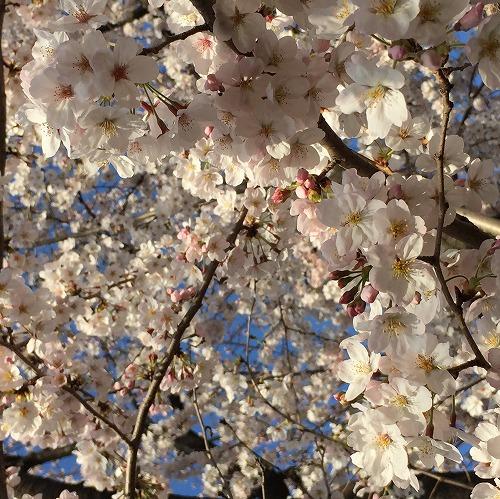 【 2015年のお花見 】_c0199166_22391071.jpg