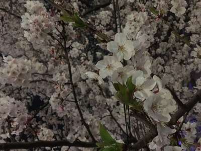 【 2015年のお花見 】_c0199166_2244528.jpg
