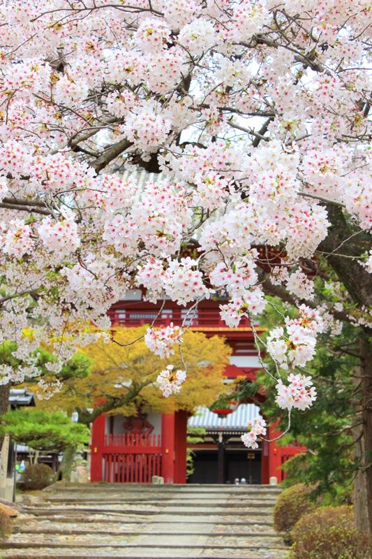 「願わくば・・・」桜とお祝い会を。_b0165872_16342367.jpg