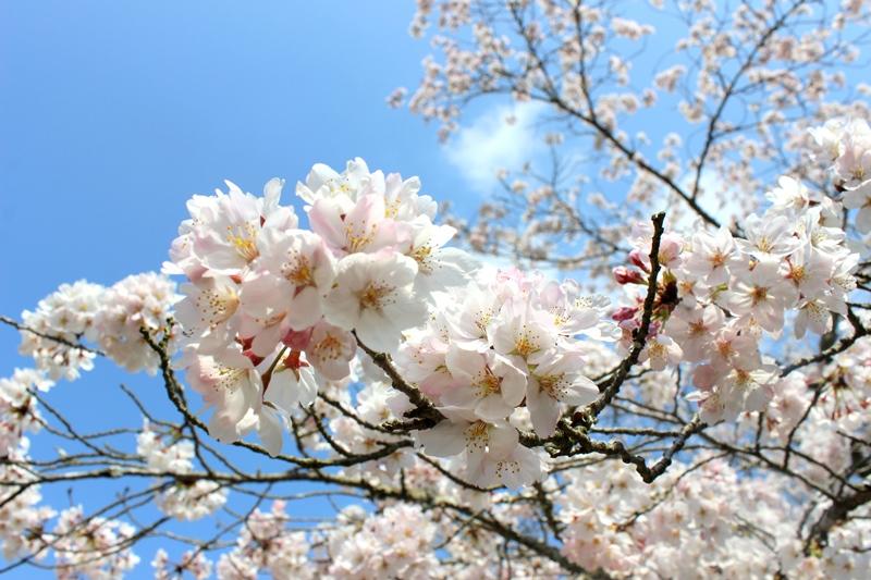「願わくば・・・」桜とお祝い会を。_b0165872_1634755.jpg