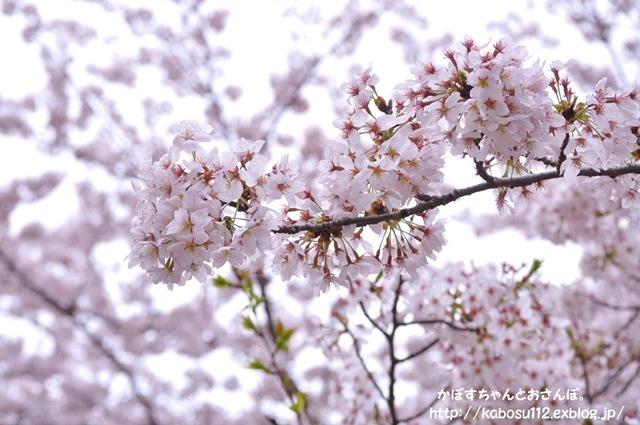 お花見散歩_a0126590_07485114.jpg