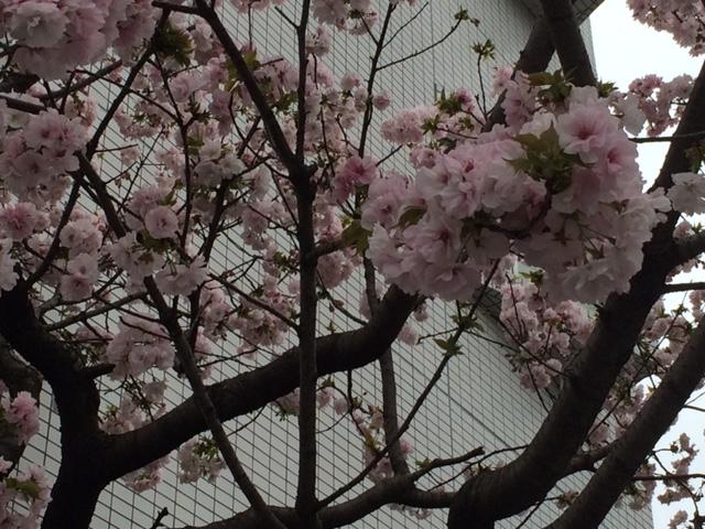 2015年の桜(11)_b0129897_33052.jpg