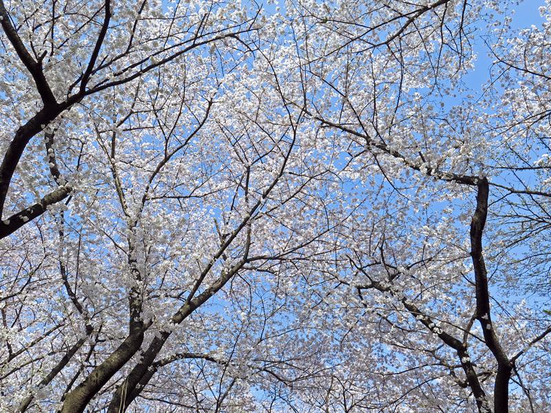 「シメ・コゲラ」と満開の桜♪_d0195897_12524264.jpg