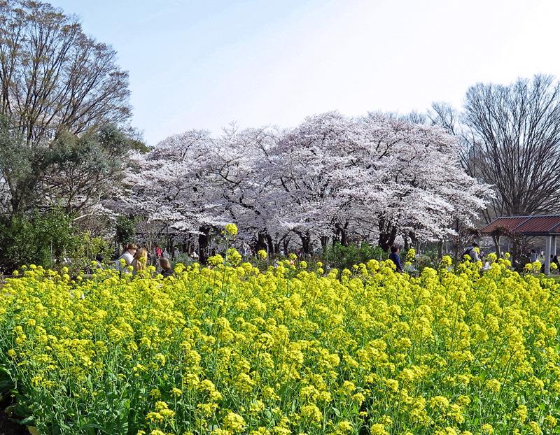 「シメ・コゲラ」と満開の桜♪_d0195897_12525466.jpg