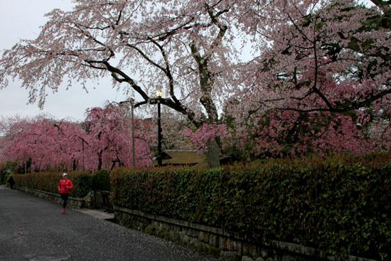 細川別邸と野村別邸 2015サクラ情報29_e0048413_20565310.jpg