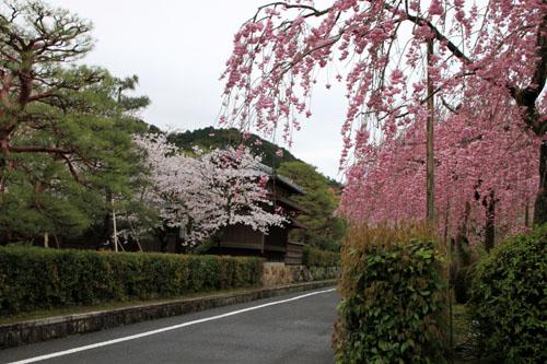 細川別邸と野村別邸 2015サクラ情報29_e0048413_20573646.jpg