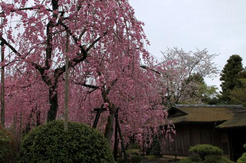 細川別邸と野村別邸 2015サクラ情報29_e0048413_2057637.jpg