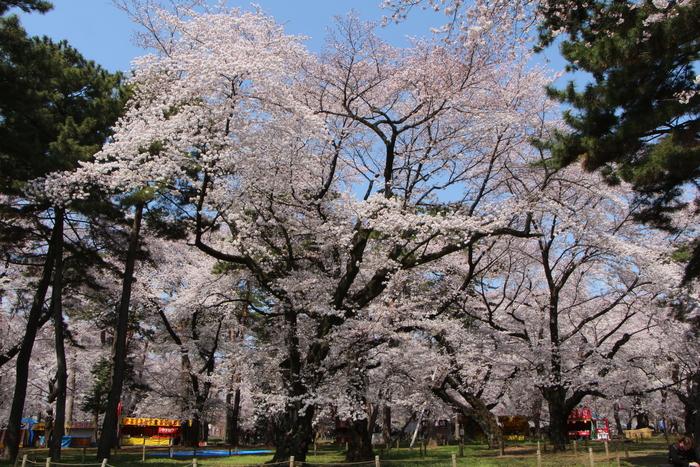 ' 15年 大宮公園   桜 ・ さくら ・ サクラ_d0150720_1004941.jpg