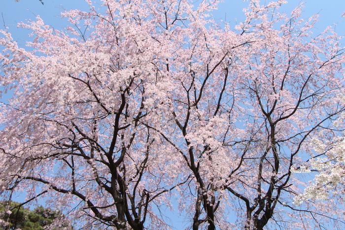 ' 15年 大宮公園   桜 ・ さくら ・ サクラ_d0150720_1011896.jpg