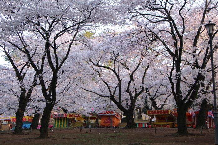 ' 15年 大宮公園   桜 ・ さくら ・ サクラ_d0150720_101525.jpg