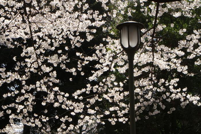 ' 15年 大宮公園   桜 ・ さくら ・ サクラ_d0150720_1034028.jpg