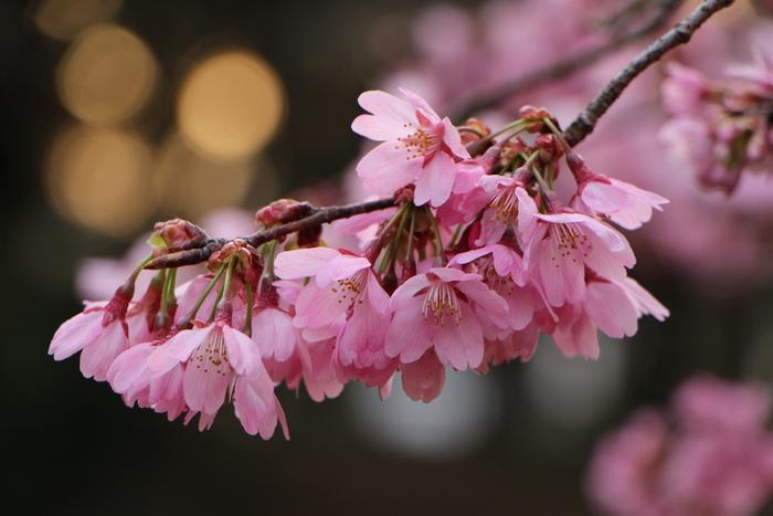 ' 15年 大宮公園   桜 ・ さくら ・ サクラ_d0150720_1073465.jpg