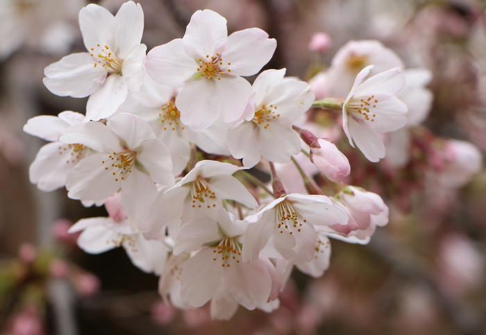 ' 15年 大宮公園   桜 ・ さくら ・ サクラ_d0150720_1083211.jpg